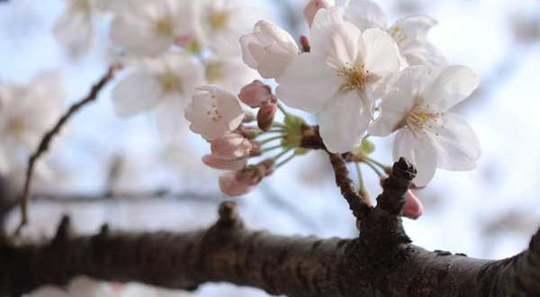 white cherry blossom on a brach