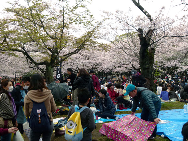 People laying out ground sheet for cherry blossom viewing
