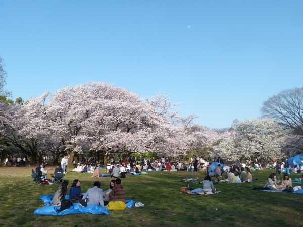 Japanese people enjoying hanami at Yoyogi Park